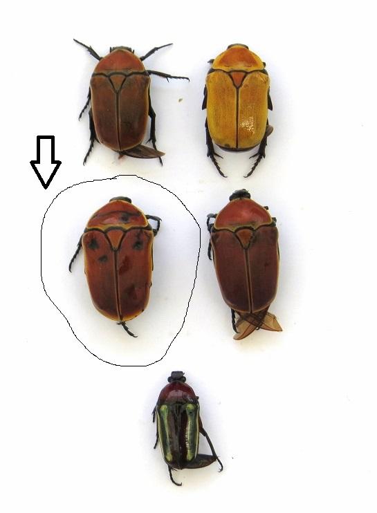 Pachnoda savigny Gory et Percheron 1833 ssp. consentanea Schaum Img_0015