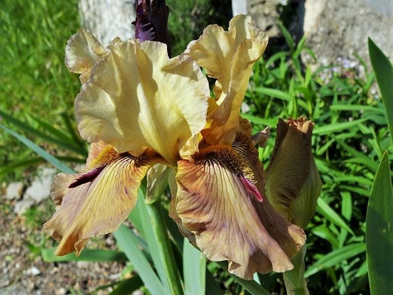 Iris 'Thornbird' - Byers 1988 Thornb10