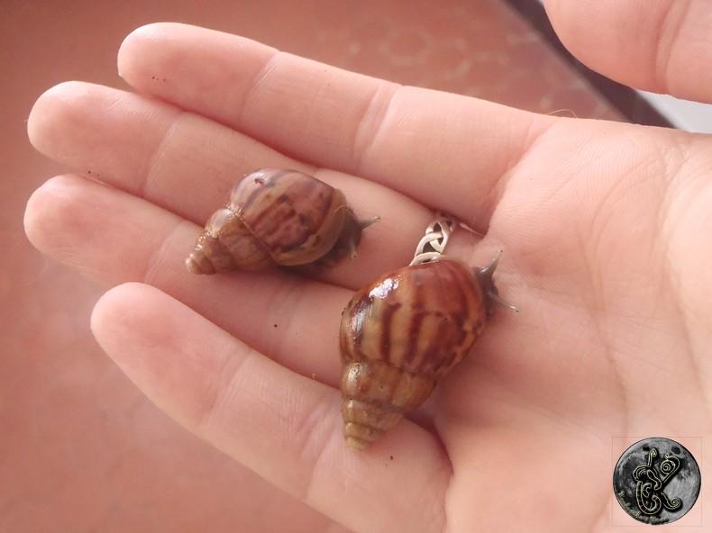 bébés lissachatinas fulica rodatzi, jadatzi, white jade et communs à vendre (edit: VENDUS) 002-bo14
