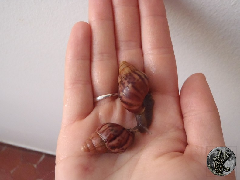 bébés lissachatinas fulica rodatzi, jadatzi, white jade et communs à vendre (edit: VENDUS) 002-bo20