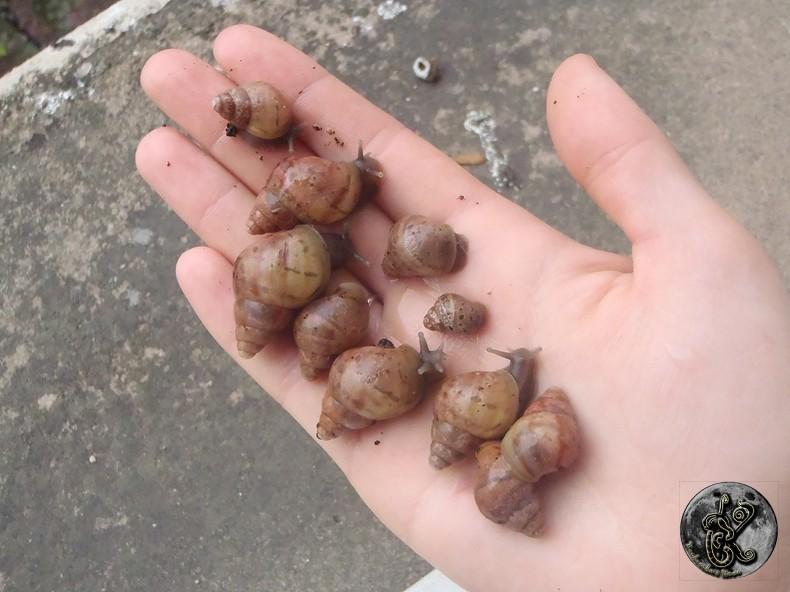 bébés lissachatinas fulica rodatzi, jadatzi, white jade et communs à vendre (edit: VENDUS) 006-bo11