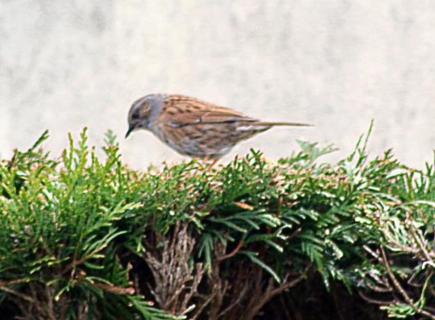 quelque oiseaux du jardin Accent10