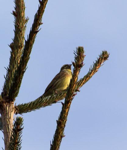 quelque oiseaux du jardin Bruant10