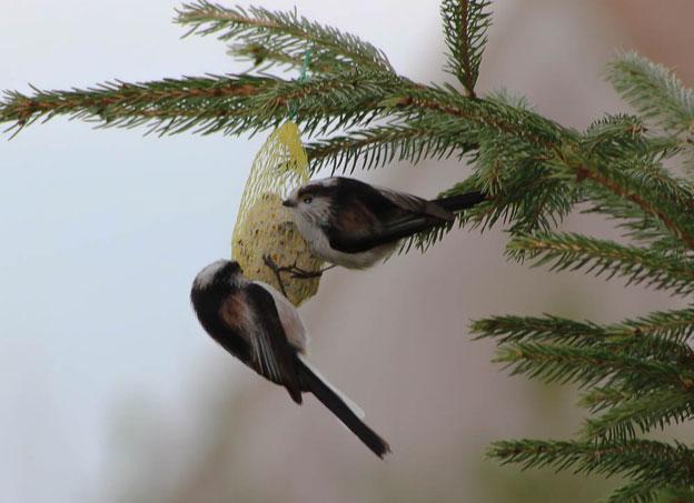 quelque oiseaux du jardin Mesang10