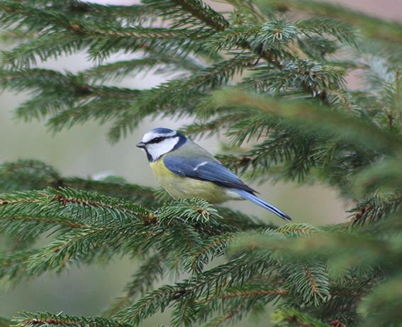 quelque oiseaux du jardin Mesang11