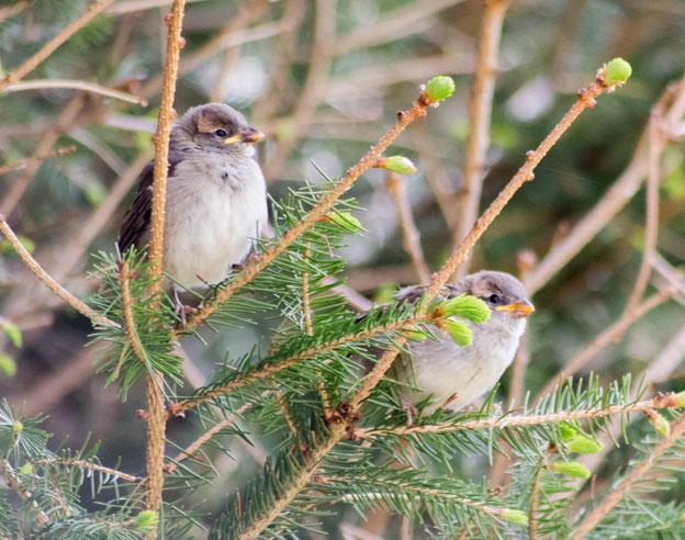 quelque oiseaux du jardin Moinea10