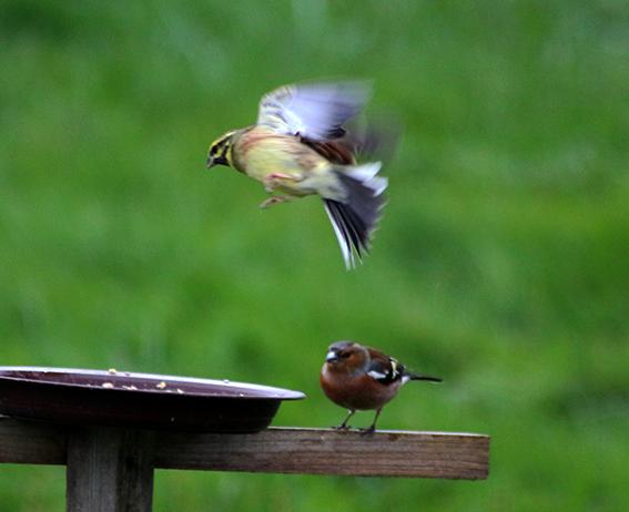 quelque oiseaux du jardin Pinson10