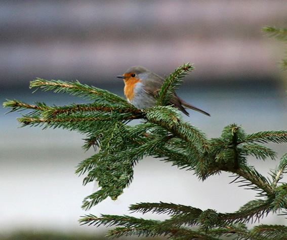 quelque oiseaux du jardin Rouge_10
