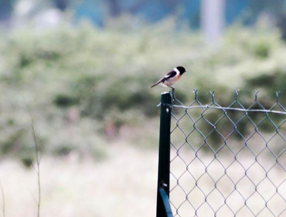 quelque oiseaux du jardin Tarier10