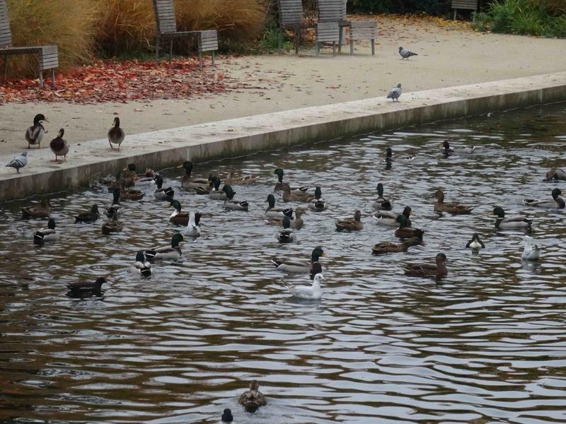 Hérons du Parc de Billancourt Dsc05745