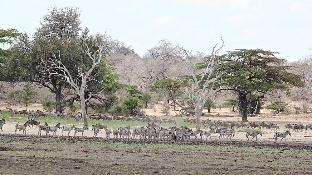 Vols de brousse en Tanzanie .     - Page 12 Img_5512