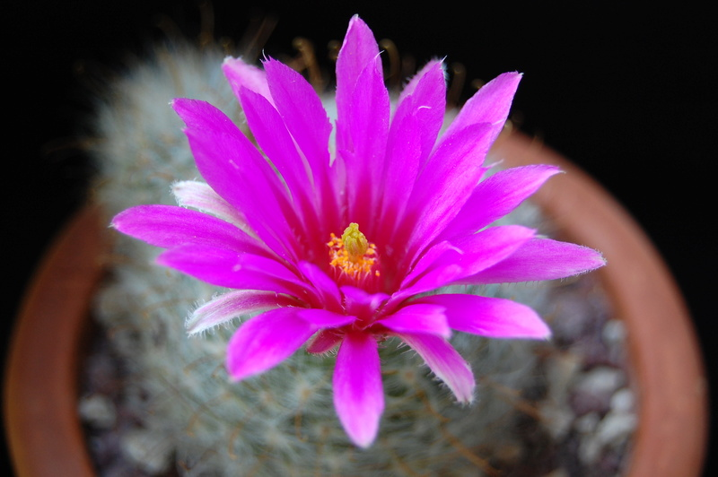 Mammillaria guelzowiana 3026-210