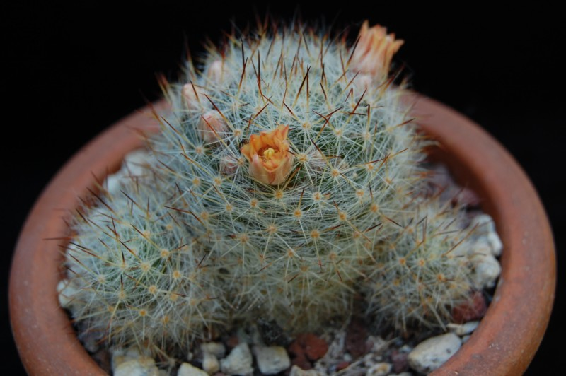 Mammillaria prolifera 3278-210