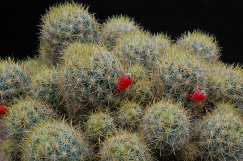 Mammillaria multiceps 3579-211