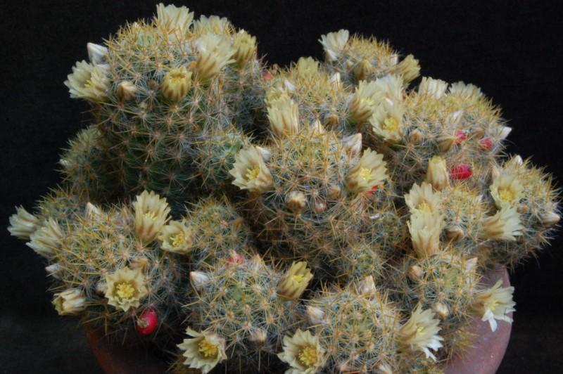 Mammillaria multiceps 3579-212