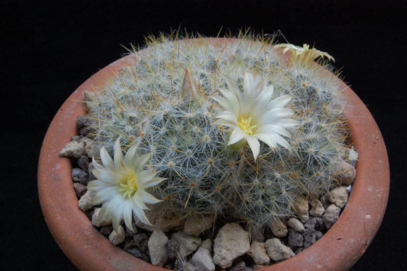 Mammillaria prolifera 5514-210