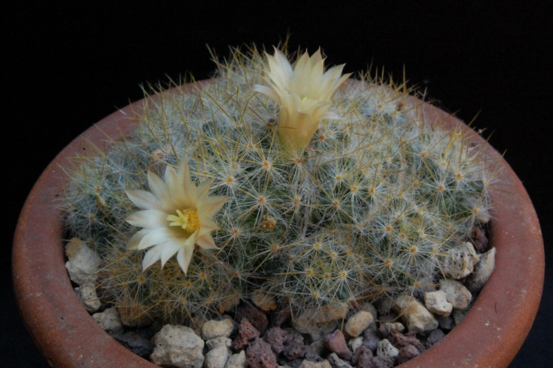 Mammillaria prolifera 5514-212