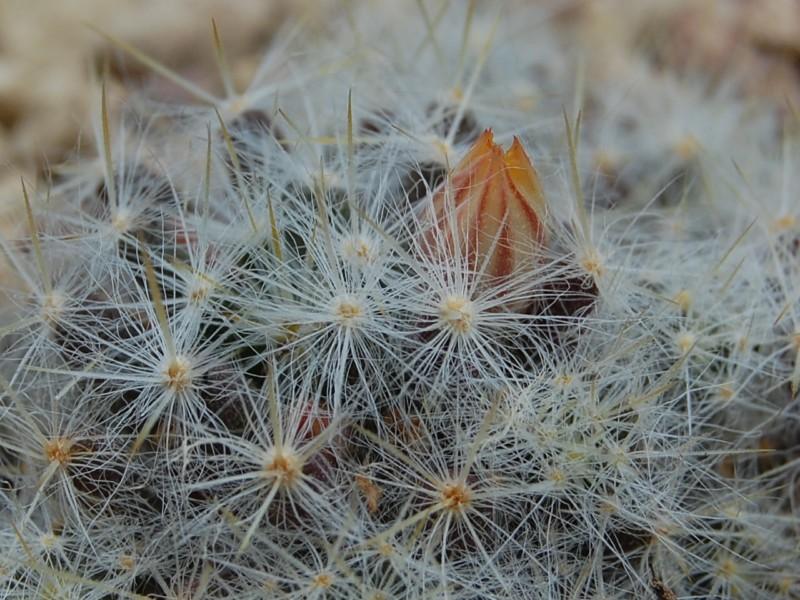 Mammillaria prolifera 6275-210