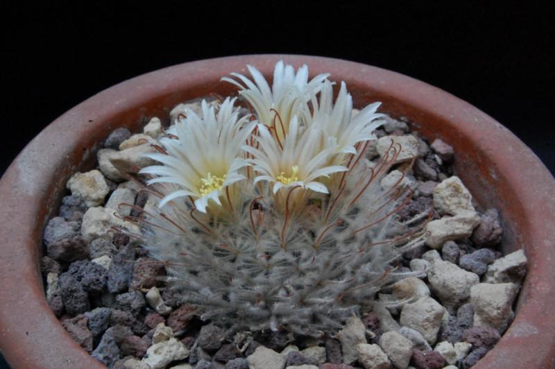 Mammillaria pennispinosa 7323-210