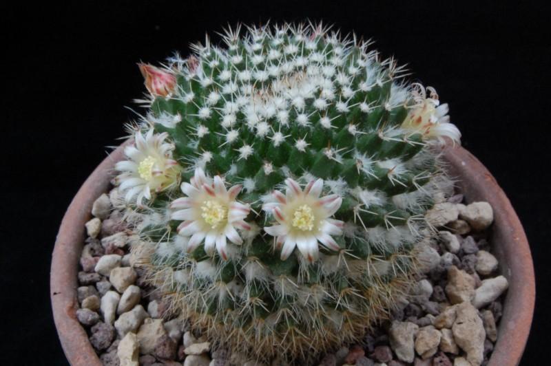 Mammillaria confusa 8144-210