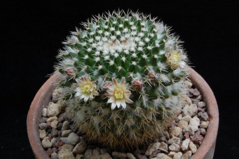 Mammillaria confusa 8144-211