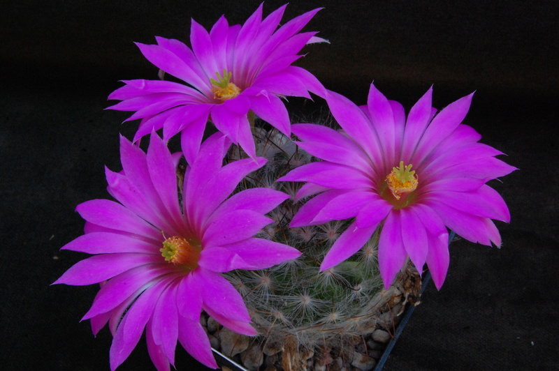 Mammillaria guelzowiana 8266-210
