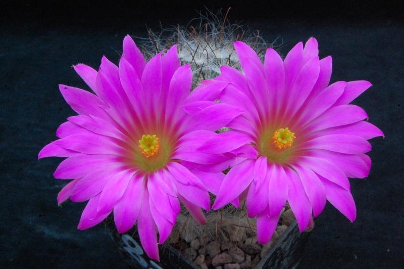 Mammillaria guelzowiana 8266-211