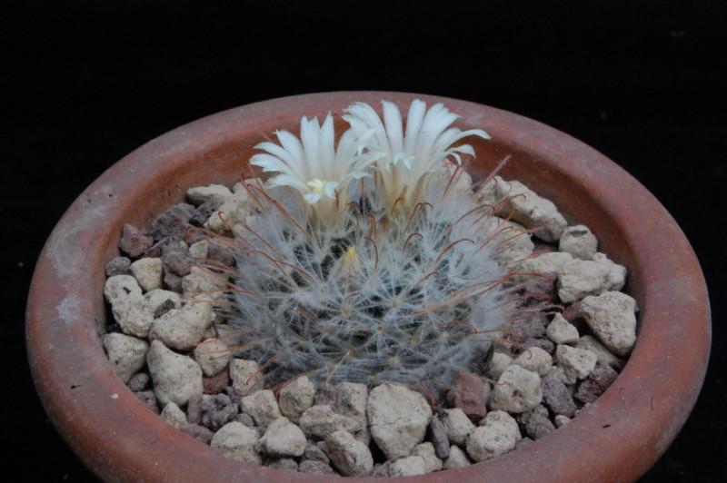 Mammillaria pennispinosa 8612-211