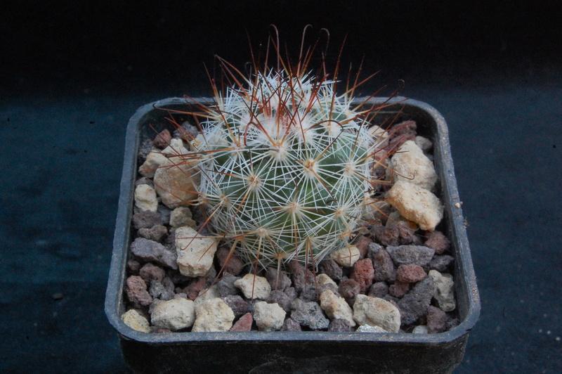 Mammillaria duoformis 9219-210