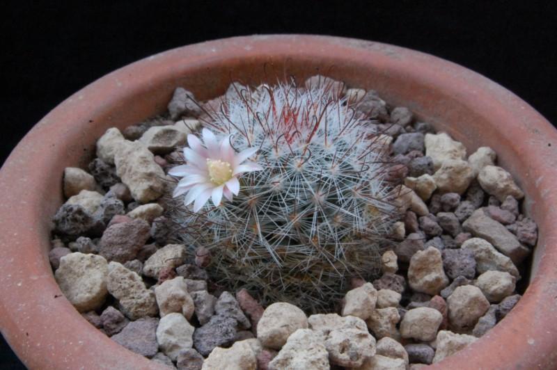 Mammillaria crinita Aff_cr13