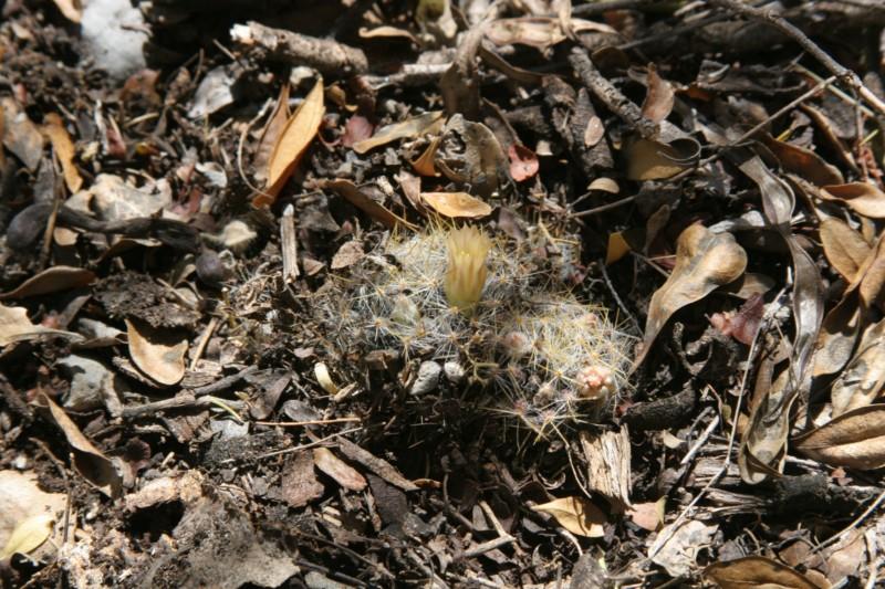 Mammillaria prolifera Img_8812