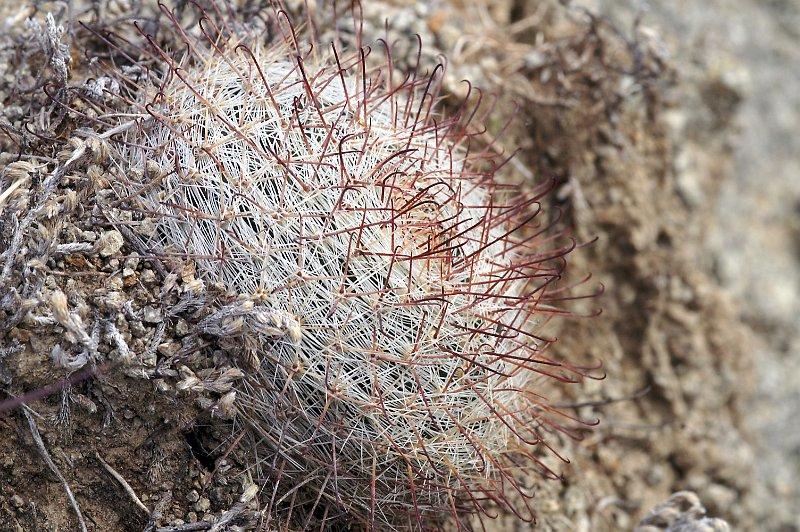 Mammillaria rettigiana Mx020111