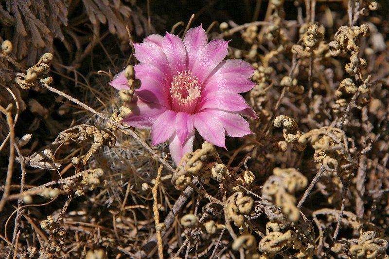 Mammillaria longiflora Mx131110