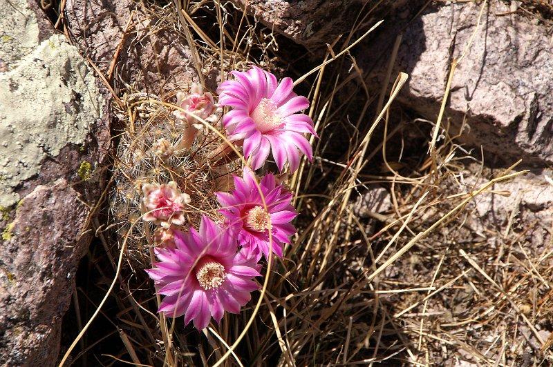 Mammillaria longiflora Mx134110