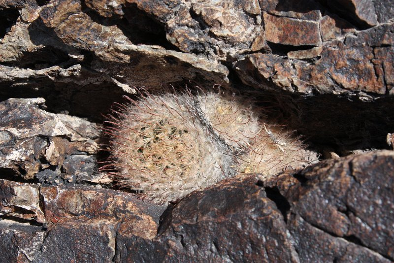 Mammillaria pennispinosa Mx175110