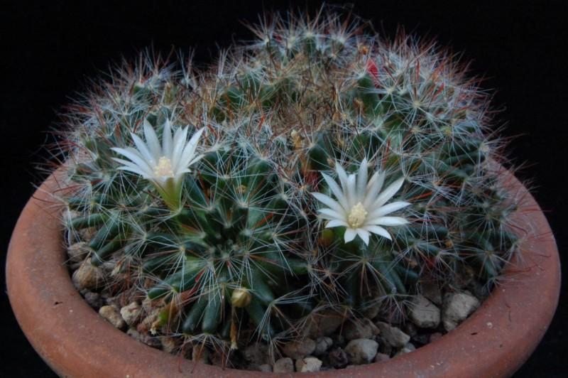 Mammillaria pubispina Pubisp12