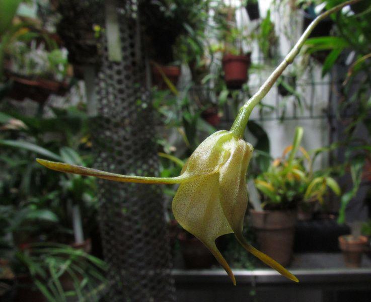 Acinopetala floribunda Img_4410