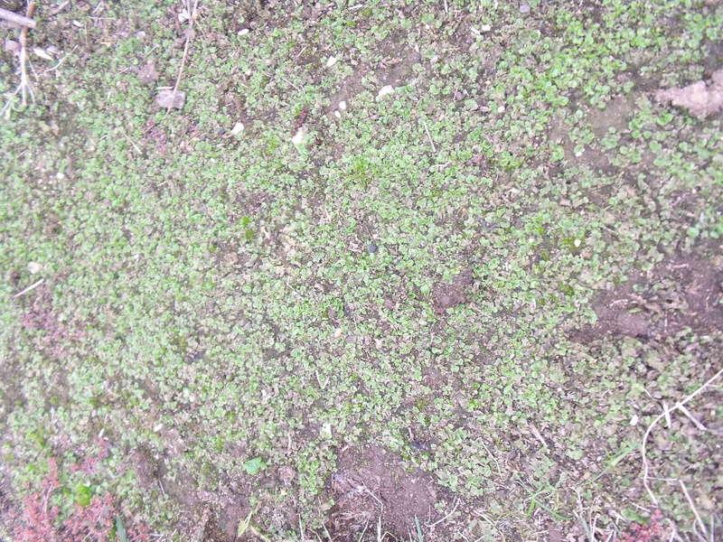Mousse ou lentilles dans le jardin Dscf1710
