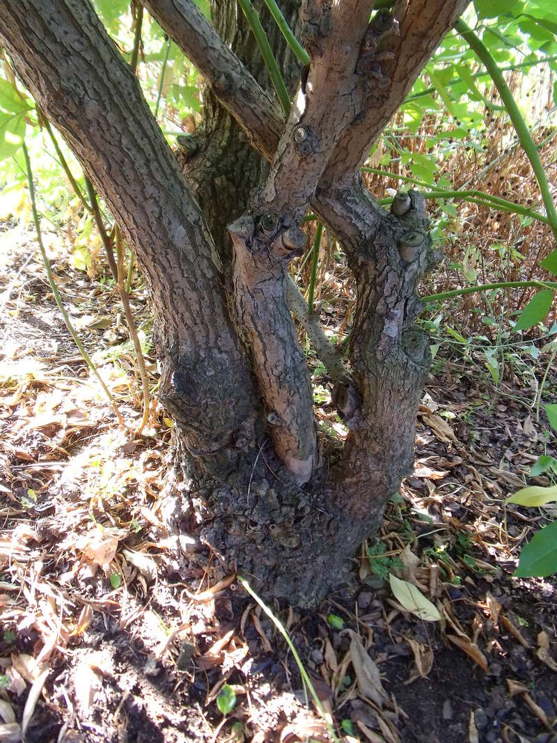 Erythrina crista-galli - Page 2 E_tron10