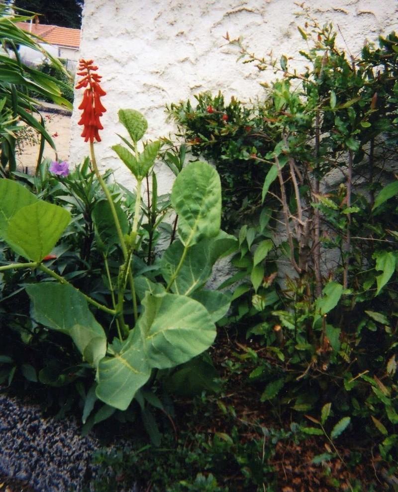 Erythrina zeyheri Erythr10