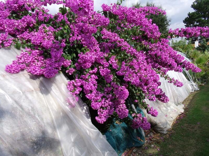 Bougainvillea x specto-glabra Fleurs10