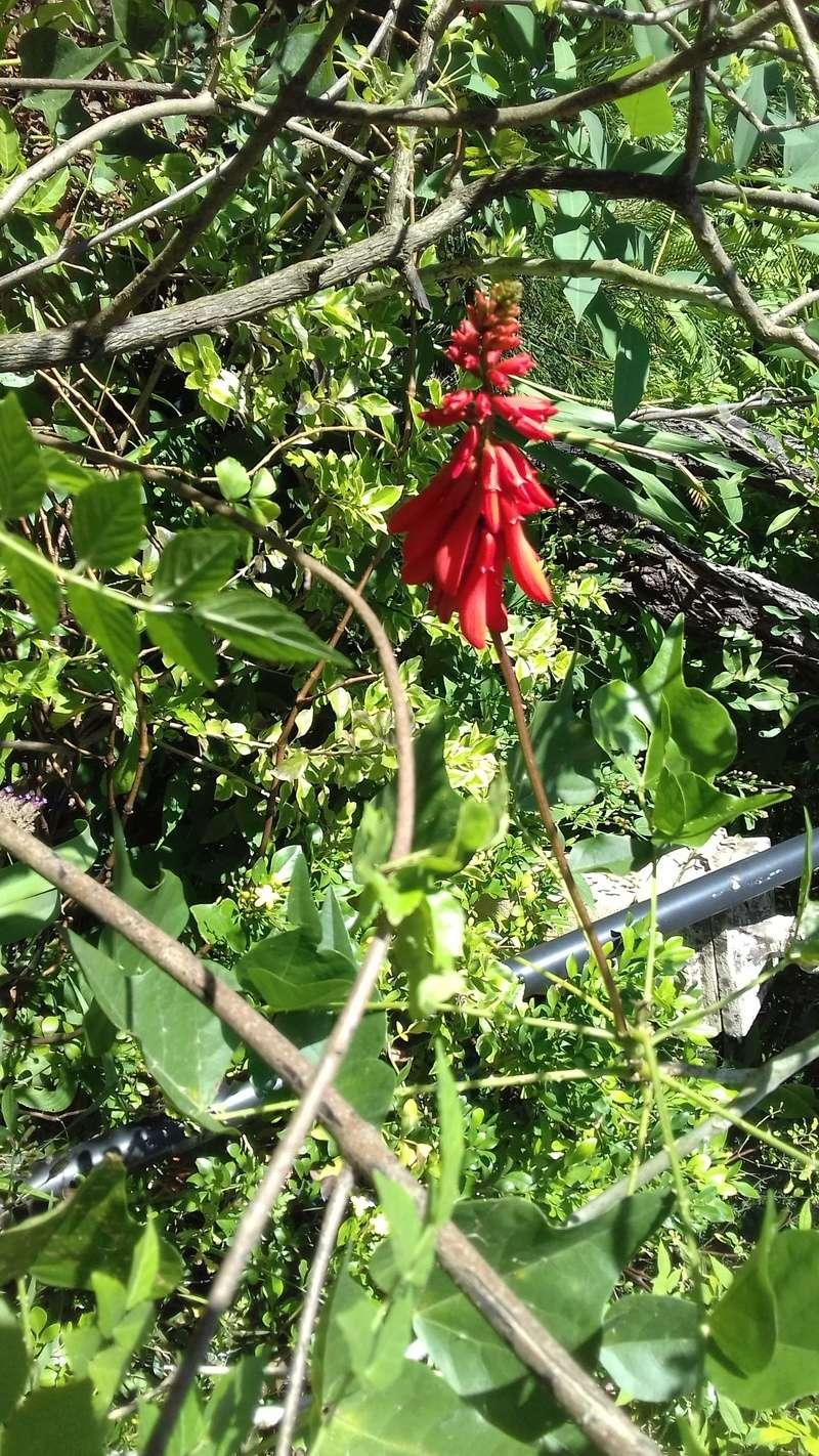 Erythrina zeyheri x humeana Hybrid10
