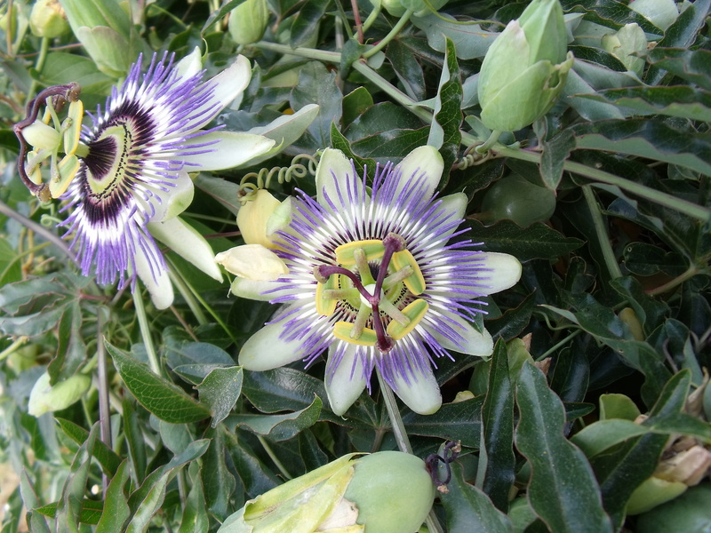 Passiflora 'Byron Beauty' - Page 3 Passif10