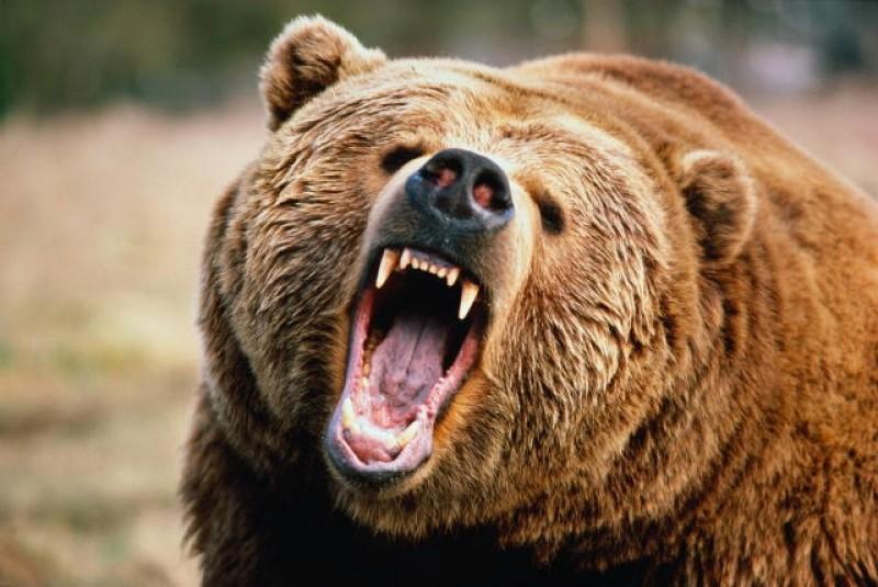 Медведи в Приморском крае. Regnum10
