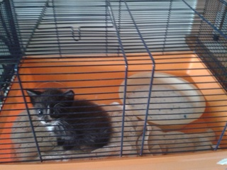 Chaton mâle, 1 mois, Var Chaton11