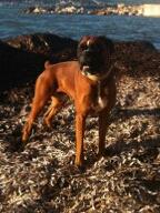 Boxer, 4 ans, mâle, Var Helios10