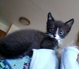 Chaton mâle, 1 mois, Var Mambo_10