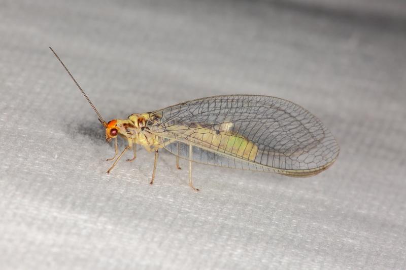 Chrysopidae pour détermination, svp 9g2a7410