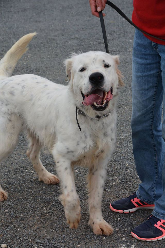 MONZON chien croisé dogue /retriever 6 ans -  Asso Orfee en pension dept 79 Monzon11