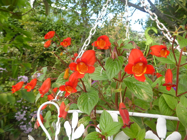 Seemannia nematanthodes 'Evita' 10-10-10